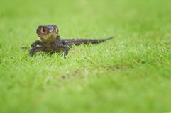 Croc Skink On the Grass royalty free stock images