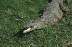 Croc Stein im Mund Lizenzfreie Stockfotos