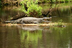 Croc sunbathing Stock Image