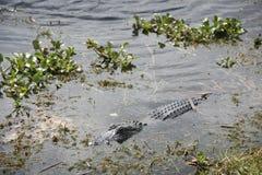 croc vad Royaltyfri Bild