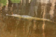 Croc at windjana gorge, kimberley, western australia Royalty Free Stock Image