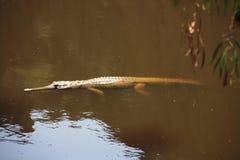 Croc at windjana gorge, kimberley, western australia Royalty Free Stock Images
