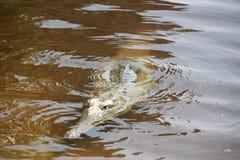 Croc at windjana gorge, kimberley, western australia Royalty Free Stock Photography