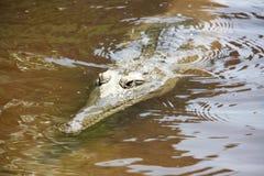 Croc at windjana gorge, kimberley, western australia Royalty Free Stock Photos
