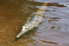 Croc in windjana Schlucht, Kimberley, West-Australien Stockbild