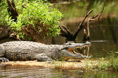 Croc With Open Jaws Stock Photography