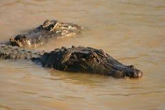 Crocadiles dans le marais Photos libres de droits
