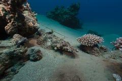 Croccodilefish in het Rode Overzees stock fotografie