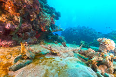 Croccodilefish in the Red Sea. Royalty Free Stock Photography