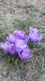 Croccuses púrpuras imagen de archivo