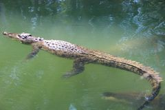 Crocdile floating on the water surface. Crocodile floating on water surface waiting to suddenly pounce Stock Photos