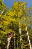 Croce con gli alberi di faggio nella caduta Fotografia Stock Libera da Diritti