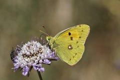 Crocea Colias, темнота заволокло желтая, общее, который заволокли желтый цвет, который заволокли желтая бабочка Стоковые Фотографии RF