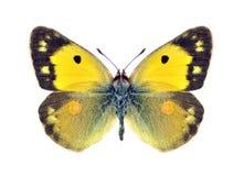 Crocea de Colias da borboleta (fêmea) imagens de stock
