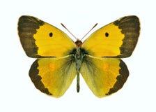 Crocea de Colias da borboleta (macho) fotos de stock royalty free