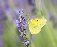 Croceus de Colias de la mariposa Imagen de archivo