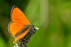 Croceus di colias della farfalla Fotografia Stock Libera da Diritti