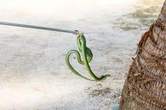 Crochet d'équipement d'outil de bâton de receveur de serpent que Cat Snake verte se cache dans des arbres de noix de coco photos stock