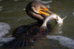crochet Double-crêté de Cormorant Image libre de droits