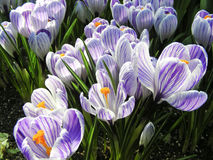 Croci Stock Photos