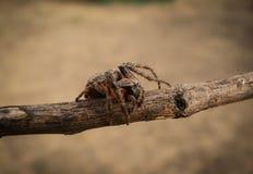 Crociato del ragno Immagini Stock