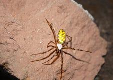 Crociato a strisce del ragno Fotografia Stock