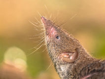 Crocidura Shrew pointing nose in the air Royalty Free Stock Images