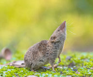 Crocidura Shrew pointing nose up Stock Images