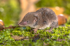 Crocidura Shrew walking on forest floor Royalty Free Stock Photos