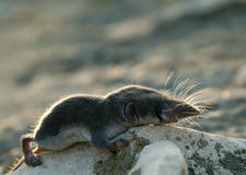 Crocidura suaveolensis Royalty Free Stock Photo