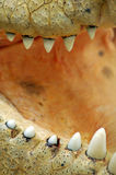 Crock detail. Crocodile teeth detail photo, mouth wide open, saltwater crocodile Royalty Free Stock Photo