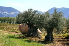 Crock in olive orchard near Nyons, France stock photography