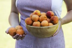 crockery предпосылки абрикосов вручает изолировано держащ спелую белую женщину стоковые фото
