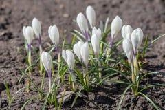 Croco bianchi in primavera Immagine Stock