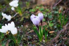 Croco blu e bianchi in giardino Fondo della primavera dei croco del fiore Fotografia Stock Libera da Diritti