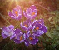 Croco della primavera Fotografie Stock Libere da Diritti