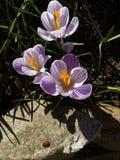 croco Croco della primavera con la coccinella sulla luce di arte di luce solare Colore unico del fiore del croco della molla in g Fotografie Stock Libere da Diritti