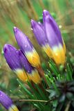 Croco della primavera (vernus del croco) Immagine Stock Libera da Diritti