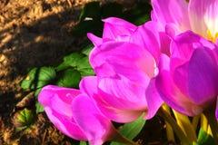 Croco di autunno Fiore Fotografia Stock