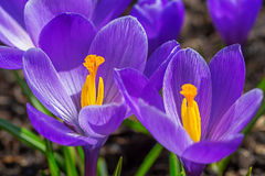 Croco di primavera Fotografie Stock