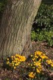 Croco gialli che fioriscono sotto il tronco di albero Fotografia Stock Libera da Diritti
