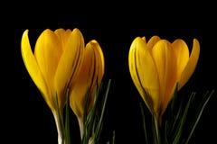 Croco giallo Fotografie Stock