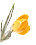 Croco giallo Fotografie Stock Libere da Diritti