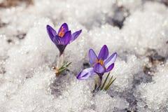 Croco nella neve fotografia stock libera da diritti