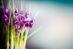 Croco porpora al fondo vago della natura, vista frontale, confine floreale Piovuto appena sopra fotografia stock