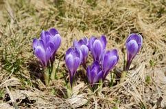 Croco porpora di fioritura Immagini Stock