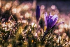 Croco sativus Fotografia Stock Libera da Diritti
