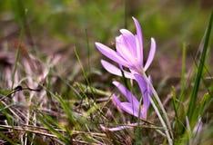 Croco selvaggio che fiorisce in autunno in anticipo Fotografia Stock Libera da Diritti