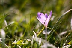 Croco selvaggio che fiorisce in autunno in anticipo Fotografia Stock