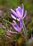 Croco selvaggio che fiorisce in autunno in anticipo Fotografie Stock